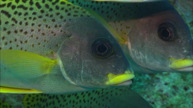 sweetlips head shot egypt red sea  - tierfarbe stock-videos und b-roll-filmmaterial