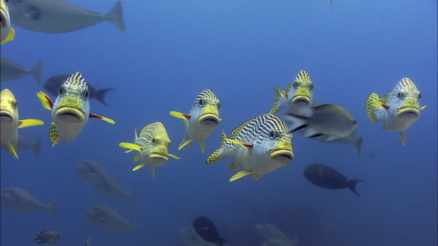 Sweetlips (Plectorhinchus sp.) swim over coral reef, West Papua, Indonesia
