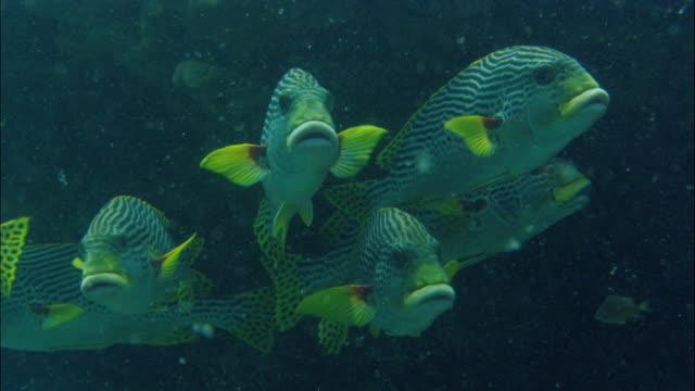 ms sweetlips (plectorhinchus) swimming in great barrier reef / queensland, australia - sweetlips stock videos & royalty-free footage