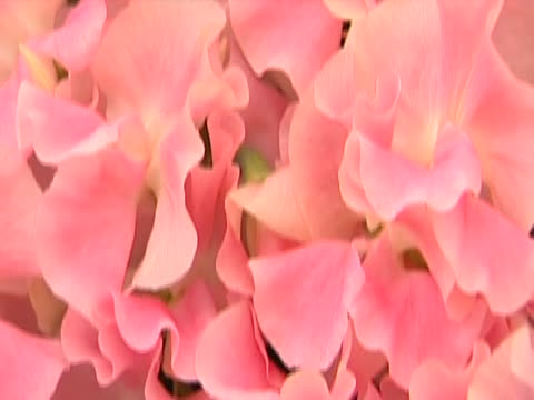 sweetpea named in honour of the royal wedding on display at the chelsea flower show - chelsea flower show stock-videos und b-roll-filmmaterial