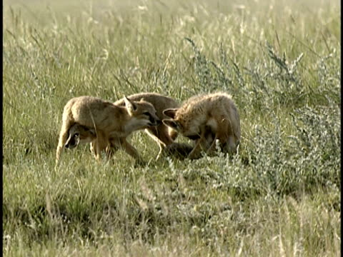 ms, swift fox (vulpes velox) with two cubs in grass, alberta, canada - 1992 stock videos & royalty-free footage