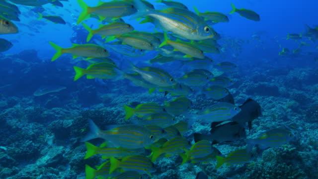 ストライプの大きな目鯛魚近く泳ぐ