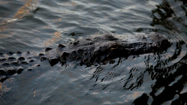 Swimming Alligators