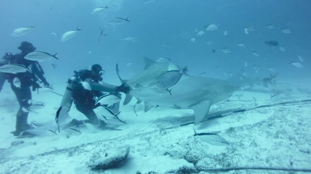WS Swimming bull sharks (Carcharhinus leucas) with divers