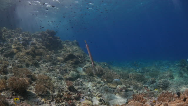 swimming close to trumpetfish in coral reef - trumpet fish stock videos & royalty-free footage