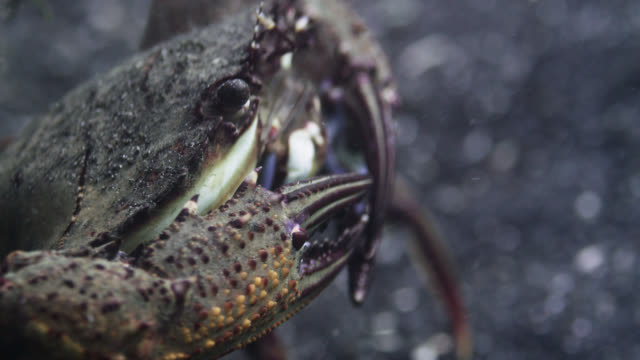 swimming crab (portunidae) filter feeds on seafloor, sulawesi, indonesia - seabed stock videos & royalty-free footage