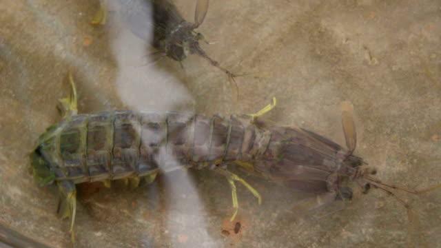 - crayfish - flußkrebs tier stock-videos und b-roll-filmmaterial