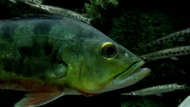 swimming fish(osteoglossum bicirrhosum) in the aquarium - medium group of animals stock videos & royalty-free footage