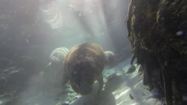 Swimming florida manatee across bird