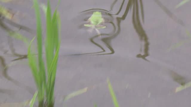 cu, swimming frog in rice paddy, shimane, japan - satoyama scenery stock videos & royalty-free footage