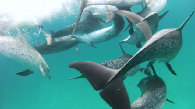 swimming in a pod of atlantic spotted dolphins