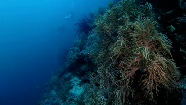 swimming in reef with lots of soft coral, indonesia - soft coral stock videos & royalty-free footage