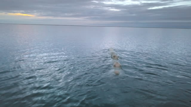 stockvideo's en b-roll-footage met swimming polar bear family in north pole - dierenfamilie