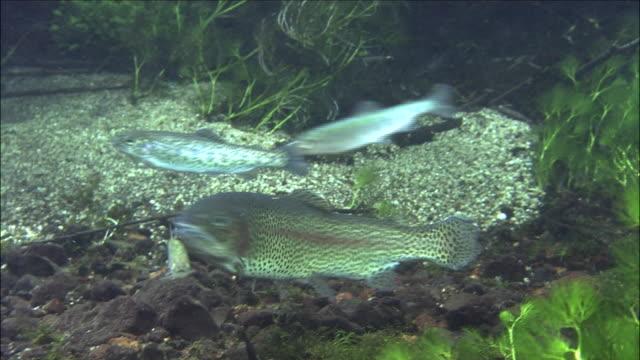 swimming rainbow-trout algae Lake-Chuzenji diving shot