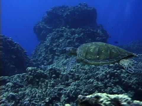 a swimming sea turtle - tierisches exoskelett stock-videos und b-roll-filmmaterial