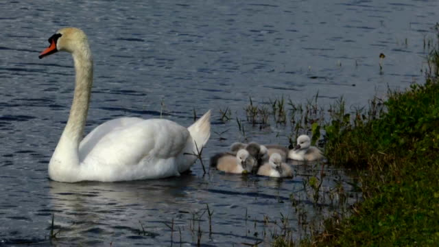 swimming swan and chicks - cygnet stock videos & royalty-free footage