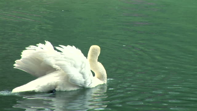 hd: swimming swan - swan stock videos and b-roll footage