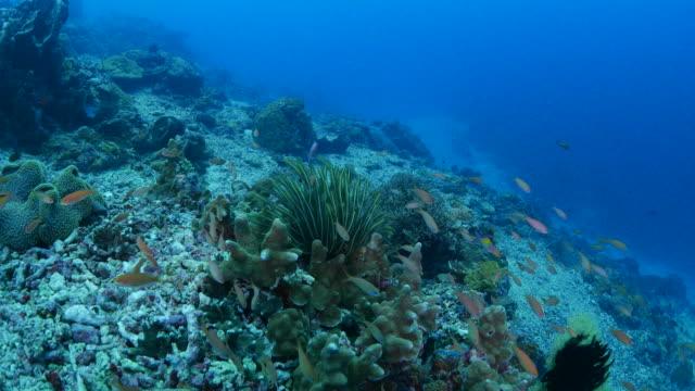 Swimming through anthias fish and coral reef (4K)
