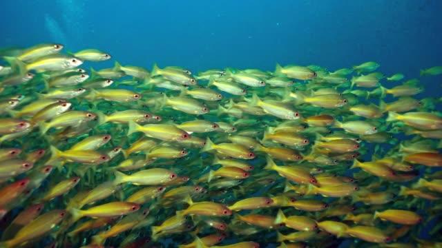 swimming through underwater school of bigeye snapper (lutjanus lutjanus) fish bright yellow and green - school of fish stock videos & royalty-free footage