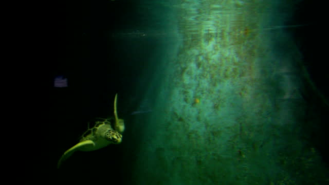 swimming turtle in dark - provo stock videos and b-roll footage