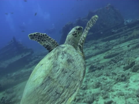 vídeos de stock e filmes b-roll de tartaruga de natação - organismo aquático