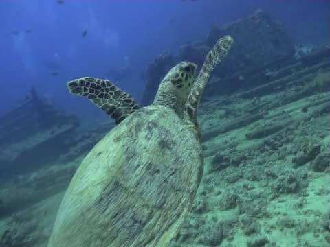 swimming turtle - aquatic organism stock videos & royalty-free footage
