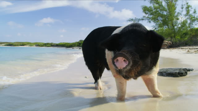 80 Top Pig Beach Video Clips & Footage - Getty Images