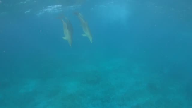 vídeos y material grabado en eventos de stock de swimming with dolphins in natural habitat in the ocean at zanzibar, tanzania - cetáceo