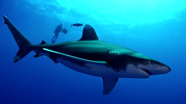 swimming with great white sharks. underwater scenery - shark stock videos & royalty-free footage