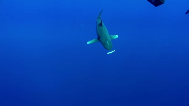 swimming with great white sharks. underwater scenery - young animal stock videos & royalty-free footage