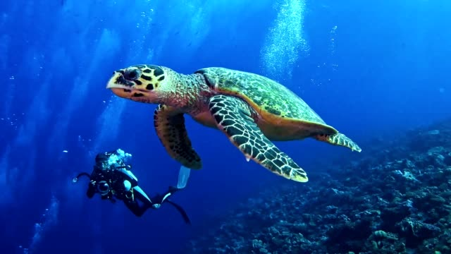 swimming with hawksbill sea turtle. underwater scenery - saltwater fish stock videos & royalty-free footage