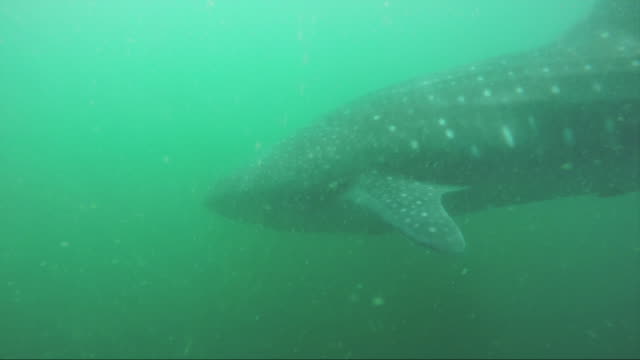 pov, swimming with whale shark in murky water - james whale stock-videos und b-roll-filmmaterial