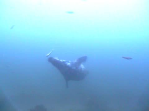 ms swims into view up towards camera, takes a fish then swims out of view - kegelrobbe stock-videos und b-roll-filmmaterial