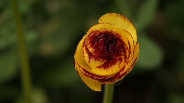 Swinging orange ranunculus flower