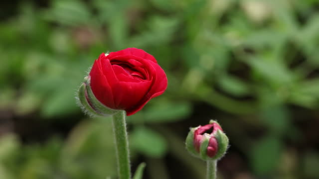 Swinging red ranunculus flower