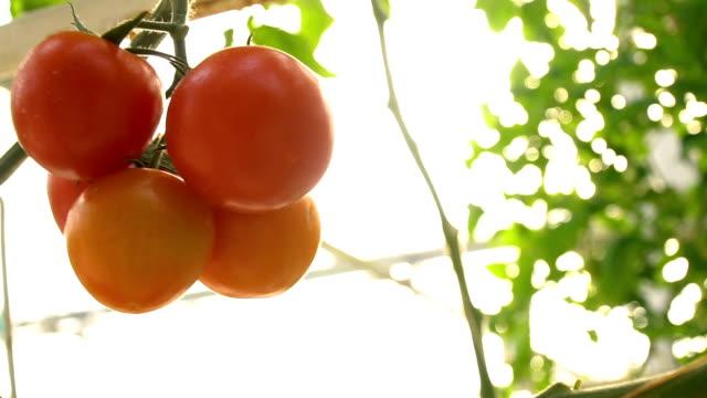 Tomaten im Garten schwingend