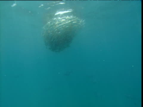 swirling bait ball attacked by tuna, panama - bait ball stock videos & royalty-free footage
