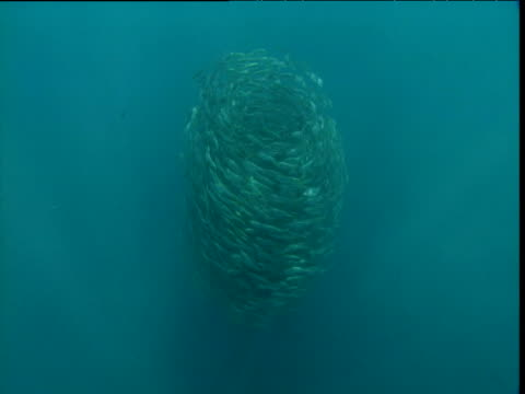 swirling bait ball changes direction, panama - bait ball stock videos & royalty-free footage