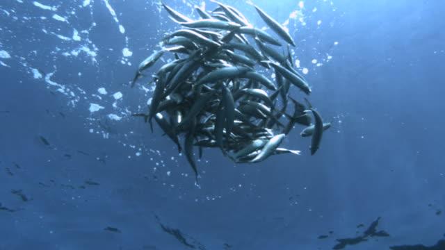 slomo swirling sardine bait ball, caribbean, mexico - bait ball stock videos & royalty-free footage