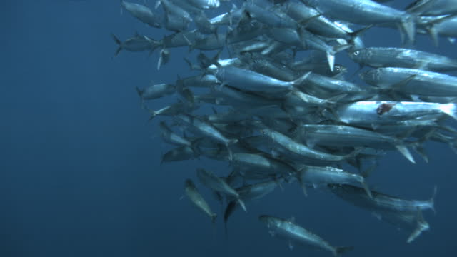 slomo swirling sardine bait ball, caribbean, mexico - school of fish stock videos & royalty-free footage