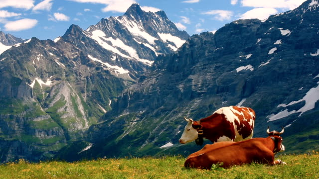 vídeos de stock e filmes b-roll de swiss alps with cows - switzerland