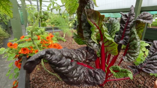 swiss chard plant growing on aquaponics farm, uk - チャード点の映像素材/bロール