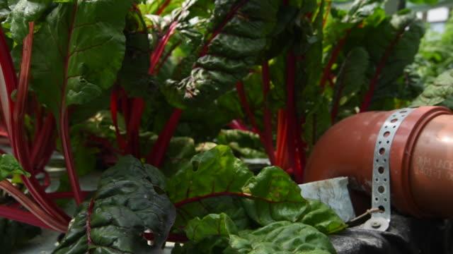swiss chard plants on aquaponics farm, uk - チャード点の映像素材/bロール