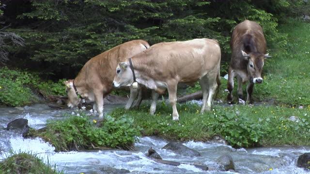 Swiss cows near Albula viaduct III