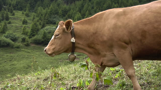 Swiss cows on an alpine meadow