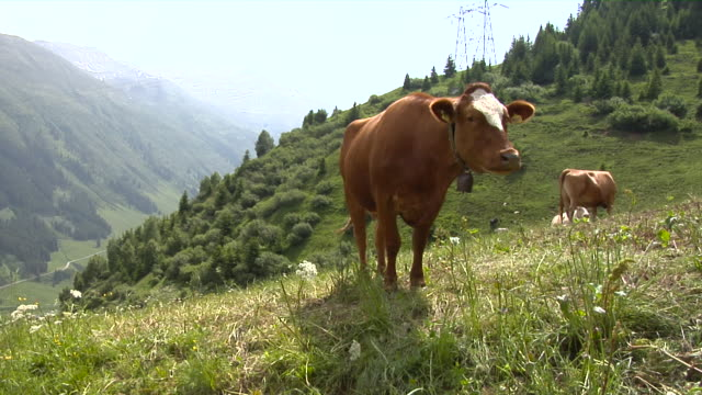 swiss cows on an alpine meadow - 20 seconds or greater stock videos & royalty-free footage