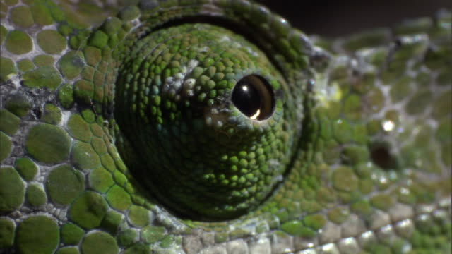 Swivelling eye of male Labord's chameleon (Furcifer labordi), Madagascar