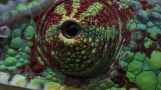 Swivelling eye of Panther chameleon (Furcifer pardalis) on branch, Madagascar