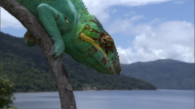 Swivelling eye of Panther chameleon (Furcifer pardalis) on branch, Madagascar