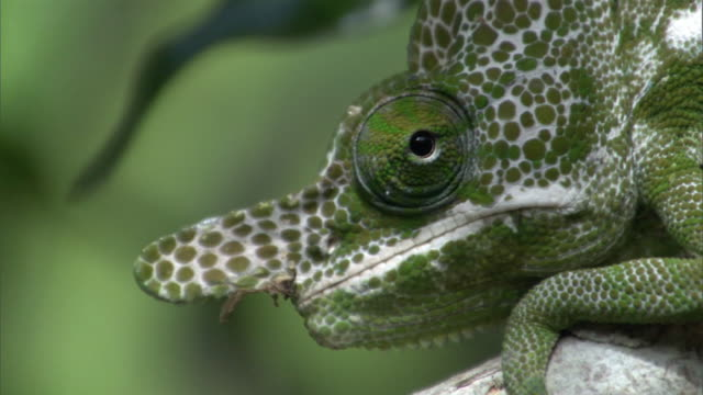 Swivelling eyes of male Labord's chameleon (Furcifer labordi), Madagascar
